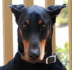 Doberman Pinscher dog collar