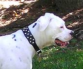 American Bulldog Leather Studded Dog Collar