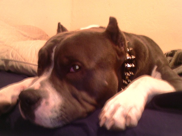 Pitbull Leather spiked and studded dog collars