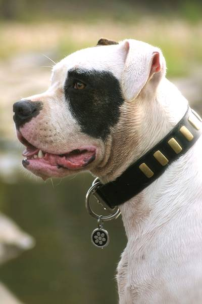Handcrafted Leather Dog Collar For Large and Medium Breeds With Plates - Proud Suzi owner Mary