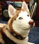 Leather Dog Collar For Siberian Husky