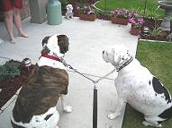 Couplet for walking 2 dogs American Bulldog