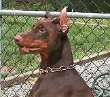 metal dog collar