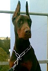 Dog Collar for Doberman