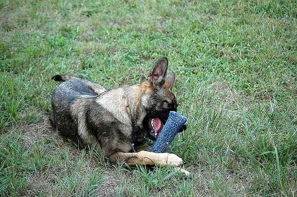 dog puppy bite tug