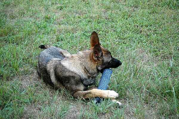 dog training bite tug