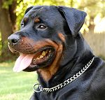 dog collar for Rotweiler