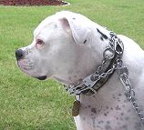 Couplet for walking 2 dogs American Bulldogs