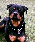 Dog Collar for Rottweiler