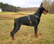 Doberman wearing dog harness