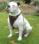 american bulldog dog harness