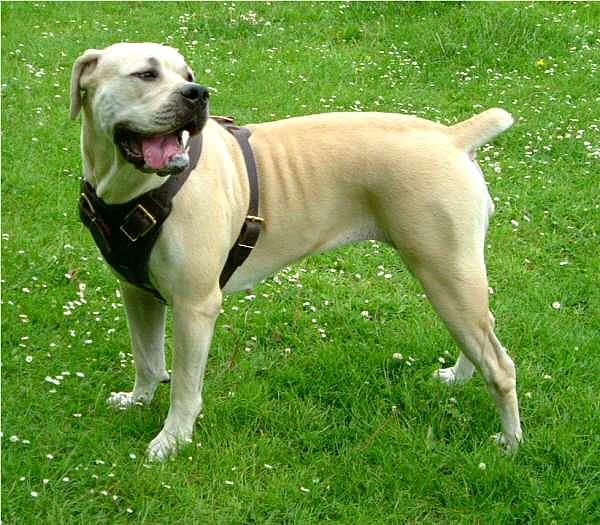 Boerboel Cross Pitbull | Dog Breeds Picture