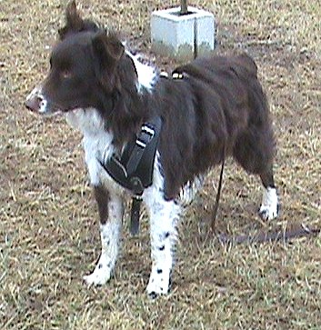Australian shepherd leather dog harness