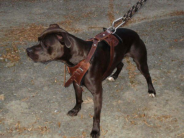 Look At Padded Leather Dog Harness For Training Pitbulls