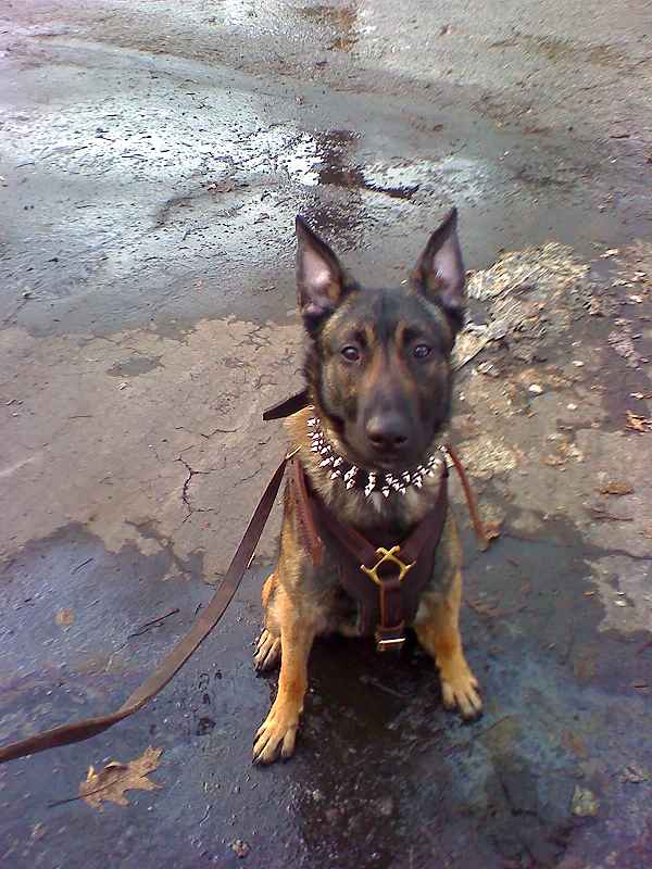 Malinois dog leather spiked collar