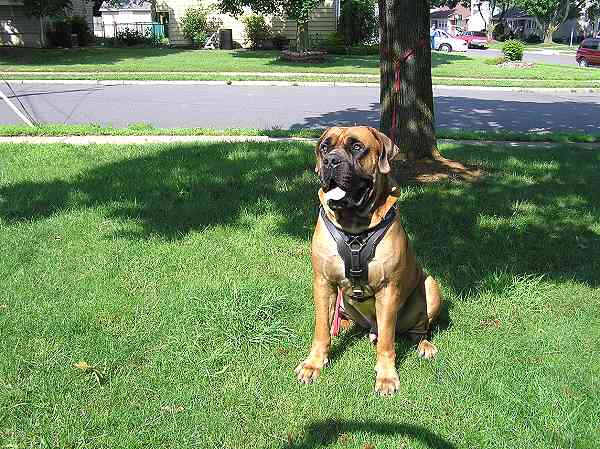 Bullmastiff dog with our walking and training harness on