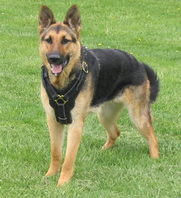 German Shepherd Leather dog training harness