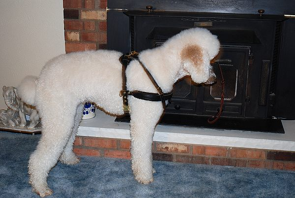 leather dog training harness