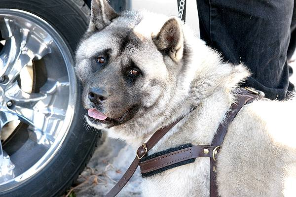 Tracking dog harness for Akita breed