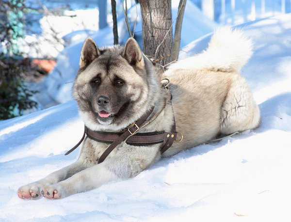 Pulling dog harness for Akita breed