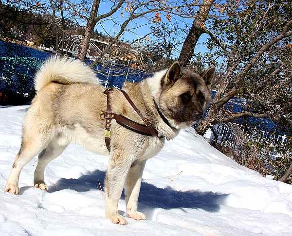 shepherd akita mix puppy images