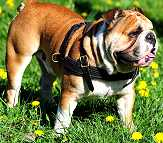 Leather Dog Harness : Padded and Adjustable : Designed to Fit Your English Bulldog just Perfect