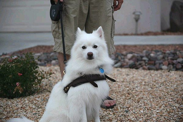 American Eskimo soft dog harness