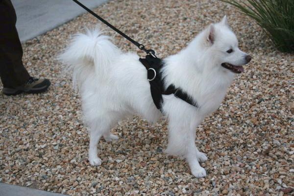 American Eskimo dog leather harness small size