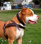 Tracking / Pulling / Agitation Leather Dog Harness : Padded and Adjustable : Designed to Fit Your Pit Bull just Perfect