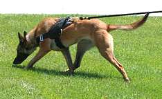 Belgian Malinois leather harness