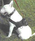 dog harness for Bull Terrier