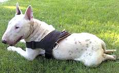 Bull Terrier  leather dog harness