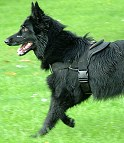 dog harness for tracking / pulling Designed to fit Belgian Sheepdog