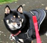 Nylon multi-purpose dog harness for tracking / pulling with extra handle.This harness is widely used by Shiba owners