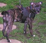 staffordshire bull terrier dog harness for tracking / pulling with extra handle.