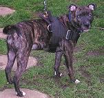 Nylon multi-purpose dog harness for staffordshire bull terrier