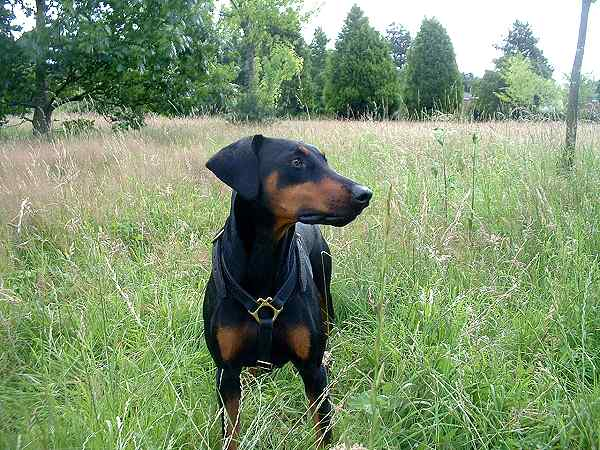 doberman dog harness