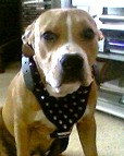 Spiked  Walking dog harness made of leather And Created To Fit Pitbull