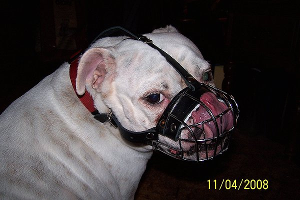 English Bulldog Muzzle