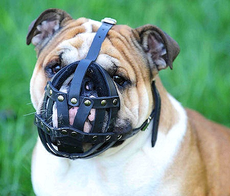english bulldog muzzle leather