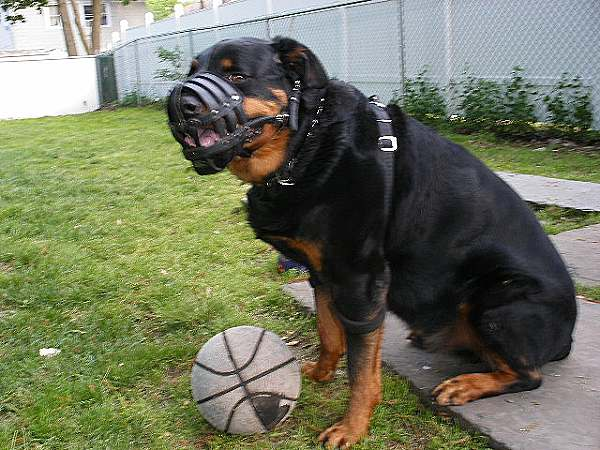 Everyday Light Weight Super Ventilation Rottweiler Muzzle Product