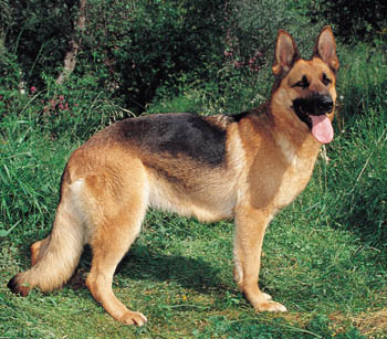 Military Dating on Gentle And Friendly German Shepherd Dogs
