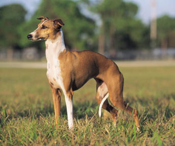 Italian Greyhound Puppies on Italian Greyhound Muzzle Italian Greyhound Greyhound Hunting Dog