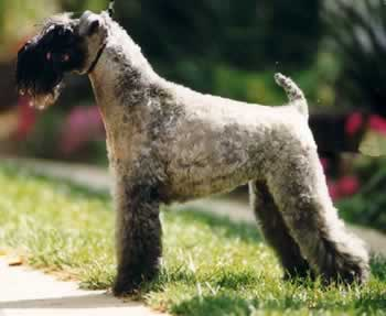Kerry Blue Terrier muzzle