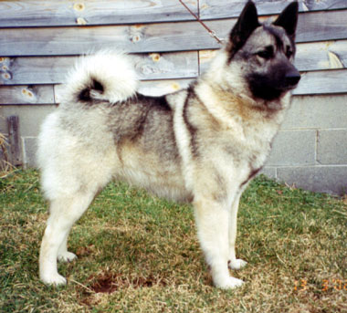 Norwegian Elkhound muzzle