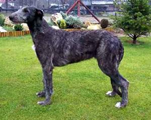 Scottish Deerhound muzzle