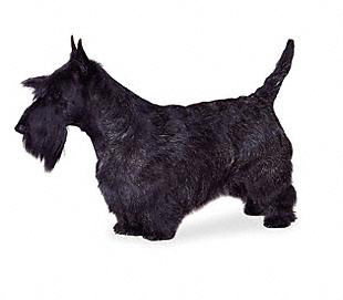Scottish Terrier (Scottie) Wire Basket Dog Muzzles Size Chart ...