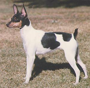 http://www.fordogtrainers.com/ProductImages/dog-breeds-muzzles/Toy-Fox-Terrier-muzzle-Toy-Fox-Terrier.jpg