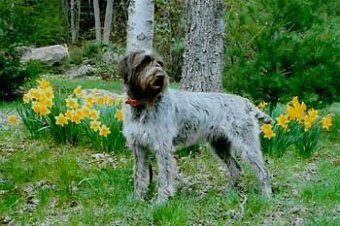 Wirehaired Pointing Griffon muzzle