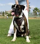 Leather dog harness for agitation,protection and attack.Padded.Designed and Sized to Fit Your Boxer Just Perfect